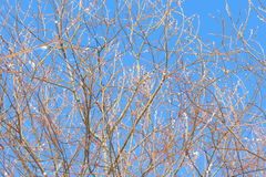 Spring willow`s branches Royalty Free Stock Photos