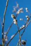 Spring willow tree against blue sky background. Fluffy buds on branches of spring willow tree against blue sky background Stock Photography