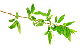 Spring willow tree barb isolated Stock Photography