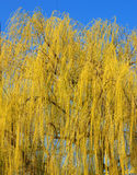 Spring Willow Tree Leaves Royalty Free Stock Photo