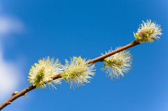 Spring willow twig on blue sky background Royalty Free Stock Photos