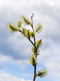 Spring willow twig on sky background Royalty Free Stock Images