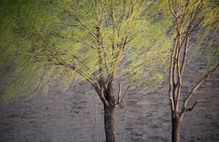 Spring willows. Willows with fresh green leaves waved follow spring wind. wall of forbidden city as background Royalty Free Stock Photo