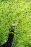 Spring willows in strong wind Stock Images