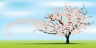 Spring wind rips cherry blossom tree. Stock Photos