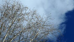 Cloud and birch. The spring wind shakes the branches on the top of high birch with blossoming catkins against the background of a passing cumulus cloud stock video footage
