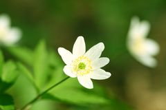 Spring windflower Royalty Free Stock Image
