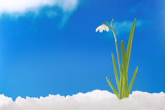 Spring winter: snowdrop in snow royalty free stock image