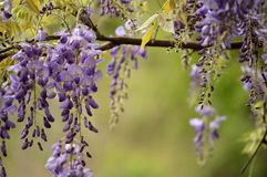 Spring wisteria background with dazzling green foliage