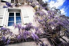 Spring wisteria blossom Stock Photos