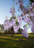 Spring wisteria Stock Images