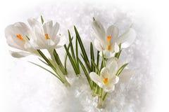 Spring witte sneeuwklokjes op Stock Afbeeldingen