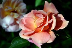 Spring wonderful roses. Spring garden is full of flowers. Colored roses and buds unfold their scented stock image
