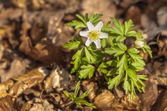 A spring wood anemone. Among the autumn leaves royalty free stock image
