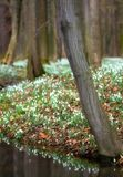 Spring wood full of snowdrops Royalty Free Stock Photos