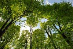 Spring woodland. A Spring woodland on blue sky Stock Images