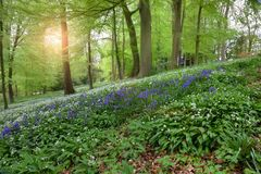 Spring woodland, England Royalty Free Stock Photo