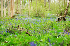 Spring woodland with the first bluebells Royalty Free Stock Image