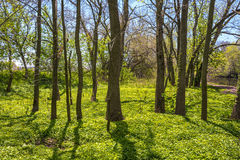 Spring Woodlands Royalty Free Stock Image