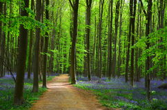Spring woods. Millions of wild hyacinth flowers in the Hallerbos woods in Belgium royalty free stock photography