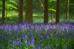 Spring woods. Millions of wild hyacinth flowers in the Hallerbos woods in Belgium stock images