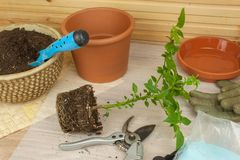 Spring works in the garden. Seedlings chilli peppers. Growing vegetables. Transplanting seedlings into pots. Stock Photography