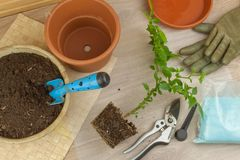 Spring works in the garden. Seedlings chilli peppers. Growing vegetables. Transplanting seedlings into pots. Royalty Free Stock Photos