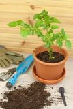 Spring works in the garden. Seedlings chilli peppers. Growing vegetables. Transplanting seedlings into pots. Royalty Free Stock Image