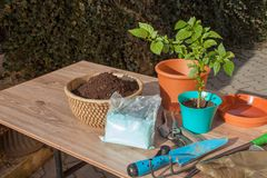 Spring works in the garden. Seedlings chilli peppers. Growing vegetables. Transplanting seedlings into pots. Stock Images