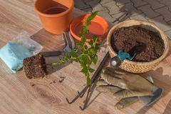 Spring works in the garden. Seedlings chilli peppers. Growing vegetables. Transplanting seedlings into pots. Stock Image