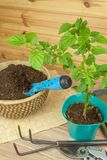 Spring works in the garden. Seedlings chilli peppers. Growing vegetables. Transplanting seedlings into pots. Royalty Free Stock Photography