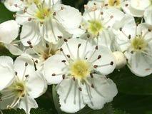 Spring& x27; s destacado nas flores brancas Imagem de Stock Royalty Free