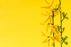 Spring yellow background with forsythia flowers Stock Photos