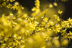 Spring yellow blossom Stock Photography
