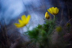 Spring in yellow and blue. Beautiful contrast in the early spring Royalty Free Stock Image