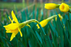 Spring yellow daffodil Narcissus Royalty Free Stock Images