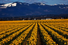 Spring Yellow Daffodil Row Flowers Skagit Royalty Free Stock Photo