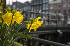 Spring yellow daffodils in the city. With some houses as background royalty free stock photo