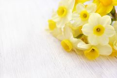 Spring yellow daffodils, narcissus jonquil flowers on white table. Spring blossoming yellow daffodils, springtime blooming narcissus jonquil flowers, selective royalty free stock photography