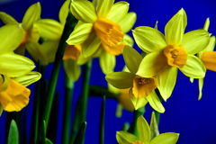 Spring yellow daffodils. Yellow daffodils in spring time with blue backgrounds. Close up. Harbingers of spring stock image