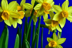Spring yellow daffodils. Yellow daffodils in spring time with blue backgrounds. Close up. Harbingers of spring royalty free stock photography