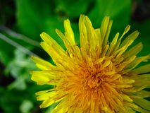 Spring yellow dandelion flower on green background royalty free stock photo
