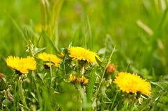 Spring yellow dandelions Stock Image
