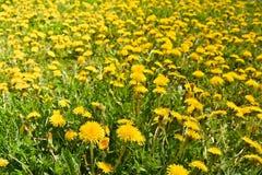 Spring yellow dandelions. Royalty Free Stock Photo