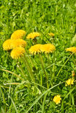 Spring yellow dandelions. Stock Images