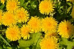 Spring yellow dandelions. Stock Image