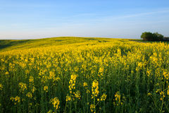 Spring yellow field Stock Photo