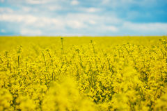 Spring Yellow Field rapeseed in bloom and beautiful Blue Sky. Stock Image