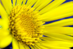 Spring yellow flower Stock Images