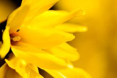Spring yellow flower. Spring vivid yellow open flower Stock Photo
